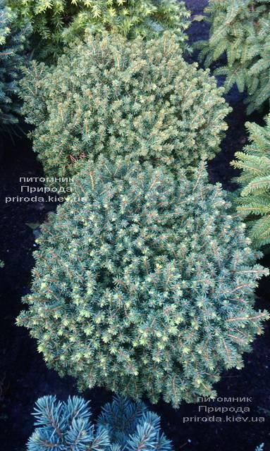 Ель канадская Эхиниформис (Picea glauca Echiniformis) ФОТО Питомник растений Природа (Priroda) (312)