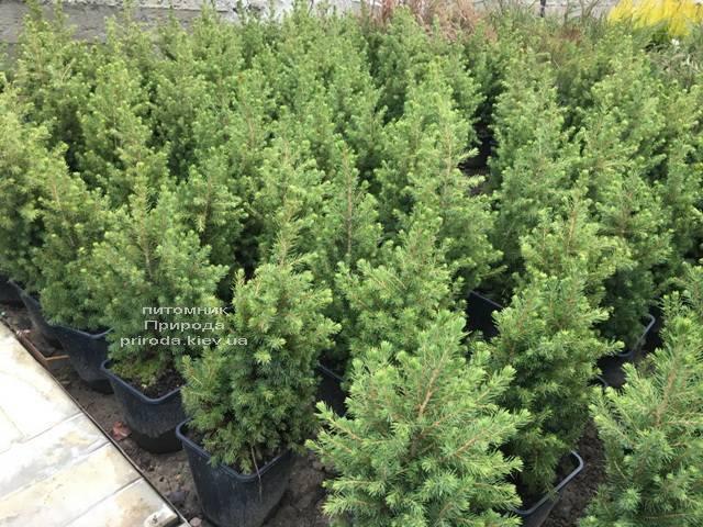 Ялина канадська Коніка (Picea glauca Conica) ФОТО Розплідник рослин Природа (Priroda) (305)
