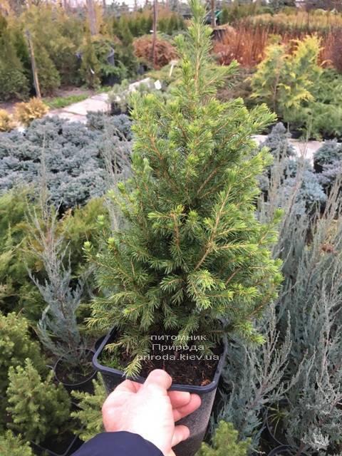 Ялина канадська Коніка (Picea glauca Conica) ФОТО Розплідник рослин Природа (Priroda) (306)
