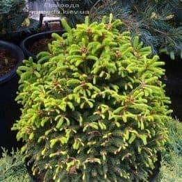 Ялина звичайна Баррі (Picea abies Barryi) ФОТО Розплідник рослин Природа (Priroda) (339)