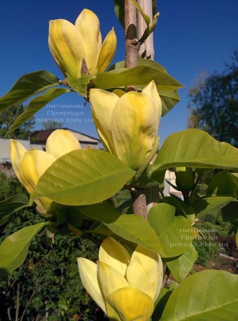 Магнолія Дафні (Magnolia Daphne) ФОТО Розплідник рослин Природа (Priroda) (159)