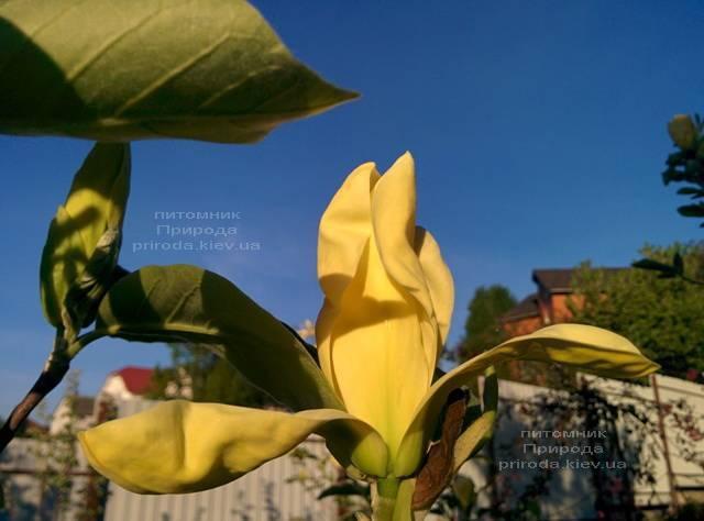 Магнолія Дафні (Magnolia Daphne) ФОТО Розплідник рослин Природа (Priroda) (160)