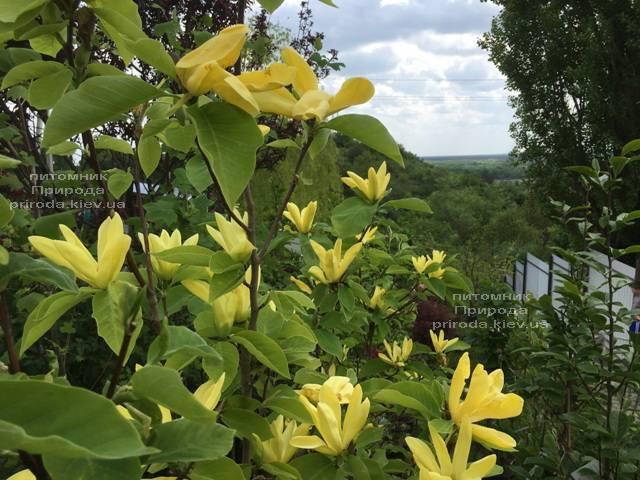 Магнолія Дафні (Magnolia Daphne) ФОТО Розплідник рослин Природа (Priroda) (163)