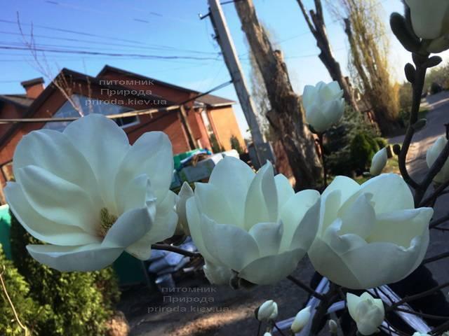 Магнолия голая Юлан (Yulan) ФОТО Питомник растений Природа (Priroda) (146)