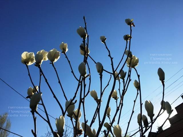 Магнолия голая Юлан (Yulan) ФОТО Питомник растений Природа (Priroda) (147)