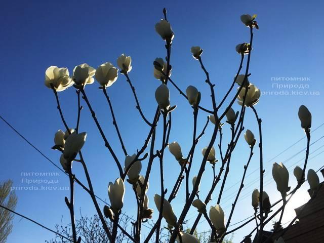 Магнолия голая Юлан (Yulan) ФОТО Питомник растений Природа (Priroda) (148)