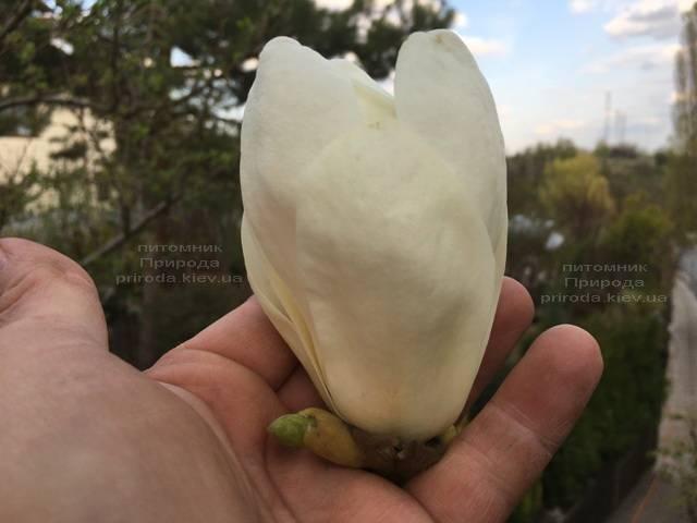 Магнолия голая Юлан (Yulan) ФОТО Питомник растений Природа (Priroda) (151)
