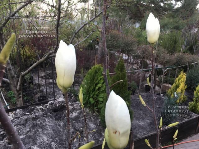 Магнолия голая Юлан (Yulan) ФОТО Питомник растений Природа (Priroda) (152)