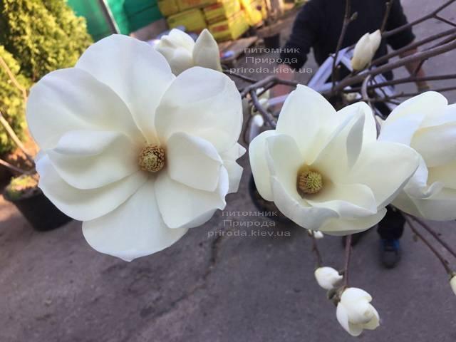 Магнолия голая Юлан (Yulan) ФОТО Питомник растений Природа (Priroda) (144)