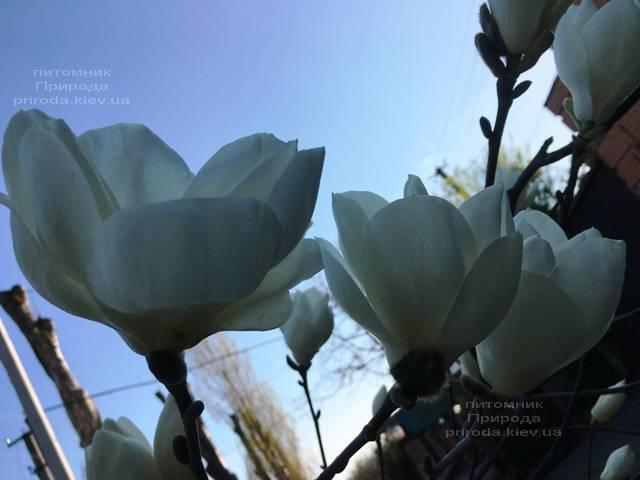 Магнолия голая Юлан (Yulan) ФОТО Питомник растений Природа (Priroda) (145)