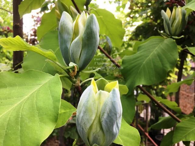Магнолия Голубой Опал (Maqnolia acuminata Blue Opal) ФОТО Питомник растений Природа (Priroda) (138)