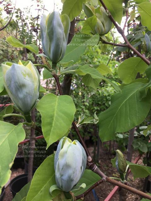 Магнолія Блакитний Опал (Maqnolia acuminata Blue Opal) ФОТО Розплідник рослин Природа (Priroda) (139)