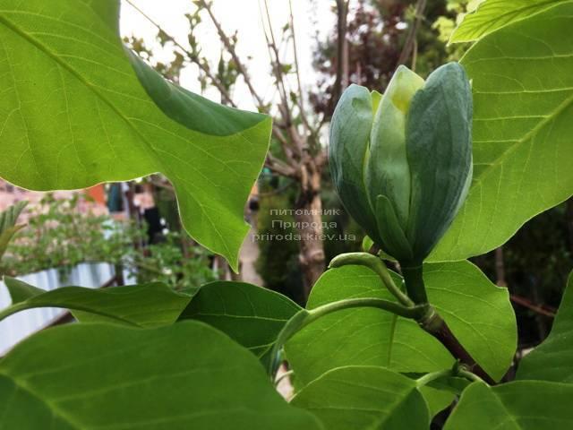 Магнолия Голубой Опал (Maqnolia acuminata Blue Opal) ФОТО Питомник растений Природа (Priroda) (131)