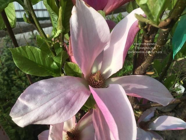Магнолия Дэйбрэйк (Daybreak) ФОТО Питомник растений Природа (Priroda) (157)