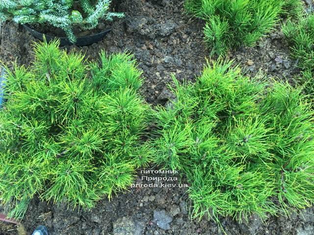 Сосна горная (Pinus mugo) ФОТО Питомник растений Природа (Priroda) (126)