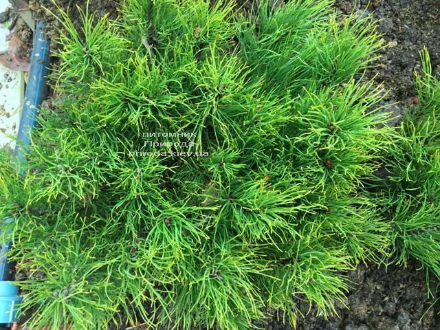 Сосна горная (Pinus mugo) ФОТО Питомник растений Природа (Priroda) (128)