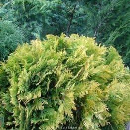 Туя західна Санкіст Куля (Thuja occidentalis Sunkist Boll) ФОТО Розплідник рослин Природа Priroda (89)