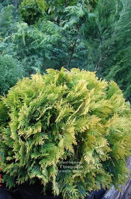 Туя западная Санкист Шар (Thuja occidentalis Sunkist Boll) ФОТО Питомник растений Природа Priroda (89)