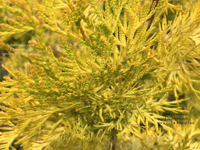 Туя западная Санкист Шар (Thuja occidentalis Sunkist Boll) ФОТО Питомник растений Природа Priroda (90)