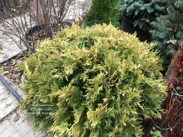 Туя западная Санкист Шар (Thuja occidentalis Sunkist Boll) ФОТО Питомник растений Природа Priroda (91)