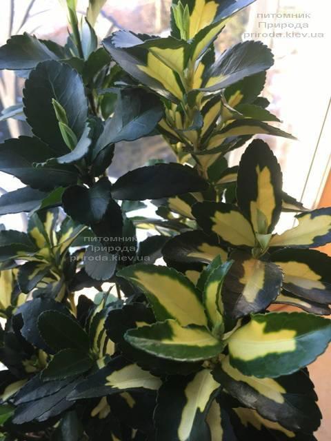 Бересклет японский (Euonymus japonica) ФОТО Питомник растений Природа (Priroda) (45)