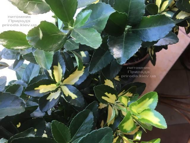 Бересклет японский (Euonymus japonica) ФОТО Питомник растений Природа (Priroda) (47)