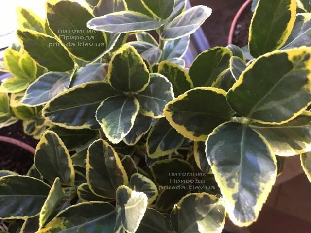 Бересклет японский (Euonymus japonica) ФОТО Питомник растений Природа (Priroda) (48)