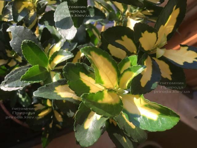 Бересклет японский (Euonymus japonica) ФОТО Питомник растений Природа (Priroda) (50)