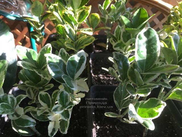 Бересклет японский (Euonymus japonica) ФОТО Питомник растений Природа (Priroda) (36)