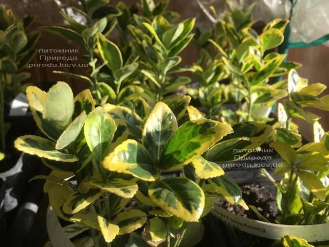 Бересклет японский (Euonymus japonica) ФОТО Питомник растений Природа (Priroda) (37)