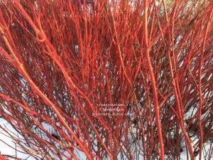 Дерен белый зимой. ФОТО Питомника растений Природа (Priroda) (31)