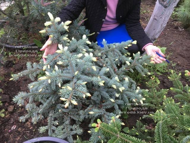 Ель голубая Биалобок (Picea pungens Bialobok) ФОТО Питомник растений Природа (Priroda) (340)