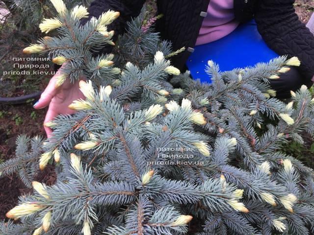 Ель голубая Биалобок (Picea pungens Bialobok) ФОТО Питомник растений Природа (Priroda) (341)