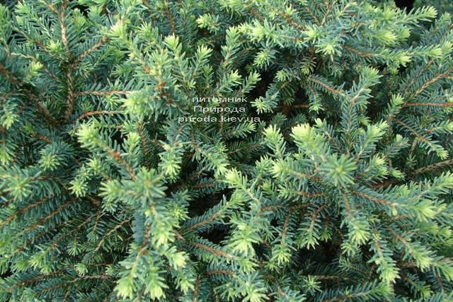 Ель сербская Карел (Picea omorika Karel) ФОТО Питомник растений Природа (Priroda) (343)