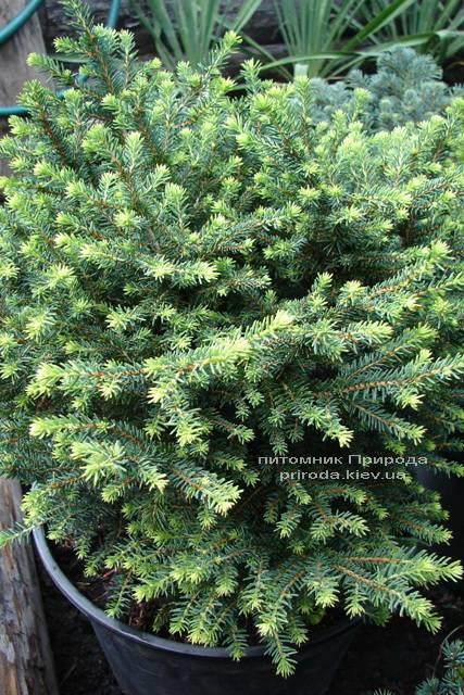 Ель сербская Карел (Picea omorika Karel) ФОТО Питомник растений Природа (Priroda) (344)