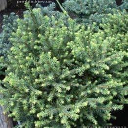 Ялина сербська Карел (Picea omorika Karel) ФОТО Розплідник рослин Природа (Priroda) (345)