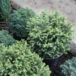 Ялина сербська Карел (Picea omorika Karel) ФОТО Розплідник рослин Природа (Priroda) (346)