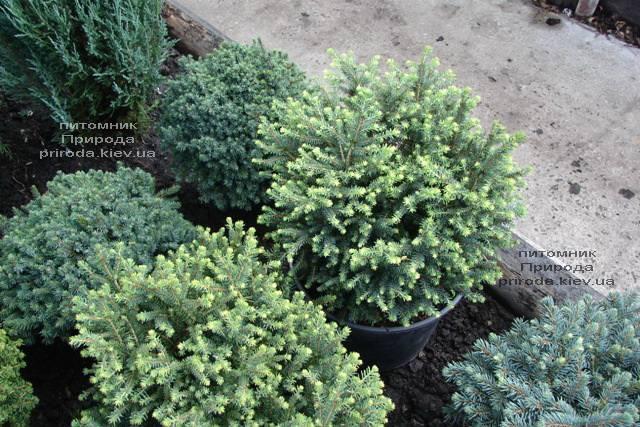 Ель сербская Карел (Picea omorika Karel) ФОТО Питомник растений Природа (Priroda) (346)