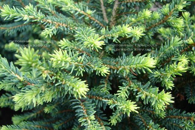 Ель сербская Карел (Picea omorika Karel) ФОТО Питомник растений Природа (Priroda) (347)