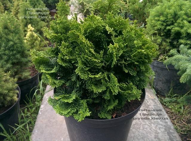 Кипарисовик тупой Нана Грасилис (Chamaecyparis obtusa Nana Gracilis) ФОТО Питомник растений Природа (Priroda) (80)