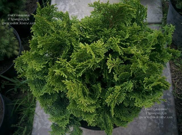 Кипарисовик тупой Нана Грасилис (Chamaecyparis obtusa Nana Gracilis) ФОТО Питомник растений Природа (Priroda) (81)