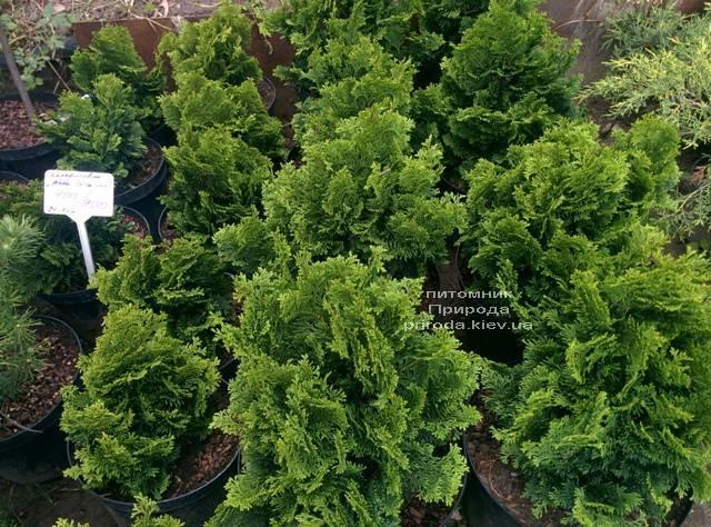 Кипарисовик тупой Нана Грасилис (Chamaecyparis obtusa Nana Gracilis) ФОТО Питомник растений Природа (Priroda) (83)