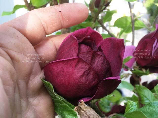 Магнолия Джени (Magnolia Genie) ФОТО Питомник растений Природа (Priroda) (175)