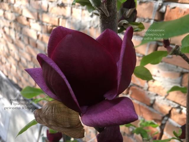 Магнолия Джени (Magnolia Genie) ФОТО Питомник растений Природа (Priroda) (181)