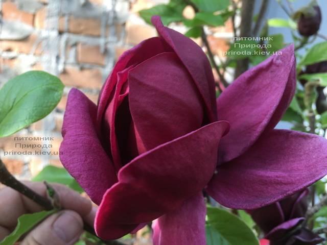 Магнолия Джени (Magnolia Genie) ФОТО Питомник растений Природа (Priroda) (176)