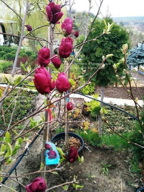 Магнолия Джени (Magnolia Genie) ФОТО Питомник растений Природа (Priroda) (172)