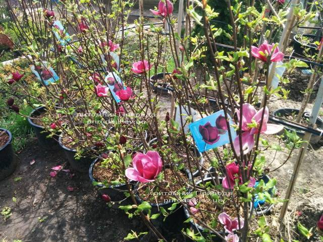 Магнолия Джени (Magnolia Genie) ФОТО Питомник растений Природа (Priroda) (178)