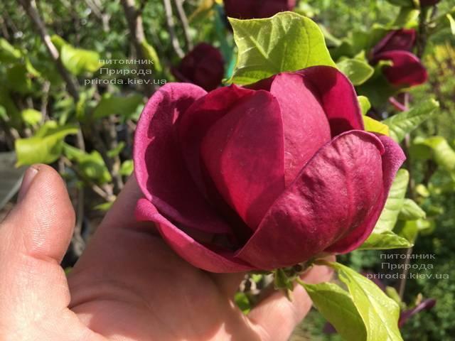 Магнолия Джени (Magnolia Genie) ФОТО Питомник растений Природа (Priroda) (180)