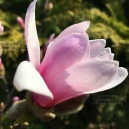 Магнолия Лебнера Леонард Мессел (Magnolia Loebneri Leonard Messel) ФОТО Питомник растений Природа (Priroda) (189)