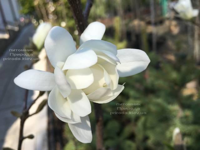 Магнолия звёздчатая Роял Стар (Magnolia stellata Royal Star) ФОТО Питомник растений Природа (Priroda) (182)
